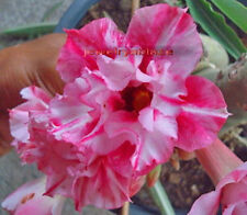 ADENIUM OBESUM DESERT ROSE 8 FRESH SEEDS SOME OF THE MOST BEAUTIFUL YOU WILL SEE