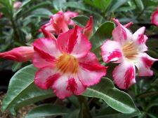 ADENIUM OBESUM DESERT ROSE 8 FRESH SEEDS TAKE YOUR CHOICE OF MANY TYPES & COLORS