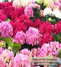 Hydrangea FRAGRANCE OIL - Hydrangea bloom sits on top of vibrant green on a warm