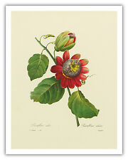 Passion Flower Lilikoi Botanical Fruit Hawaii  Vintage Art Poster Print Giclee