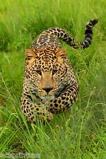 Charging Leopard Picture Poster Print on Glossy Photo, or Canvas + GIFT