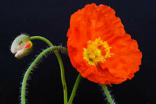 ART Home Wall Decor Picture in variety of sizes to frame #200706-0017 Poppy