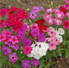Phlox Annual Mix 200,400,800,1600 seeds, Drummond's red violet white pink yellow