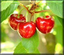 Cherry Scented Fragrance Oil for Candle /Soap Making / Crafting-U Pick Size