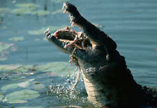 Art print POSTER Crocodile Eating a Large Mullet in Water