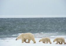 Art print POSTER Polar Bear and Cubs on Shore of Hudson Bay