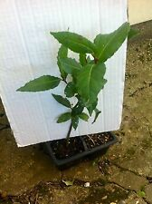 Bay Tree Laurus Nobilis Evergreen Aromatic Leaves  7 inch plant