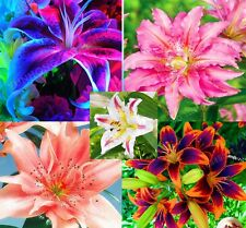 Blue Lily Bulbs, Root Lilium, Lily Flower Bulbs (Not Lily Seed) Root Plants,4Pcs