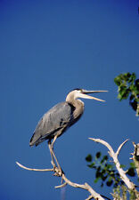 Art print POSTER A Great Blue Heron