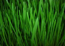 Premium Quality Hand Sorted Viable Wheatgrass Seeds, Mature Grains, Wheat Grass