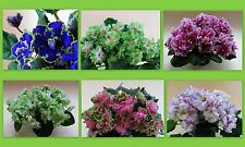 African Violet -Saintpaulia - leaves -Russian and Ukrainian varieties to choose!