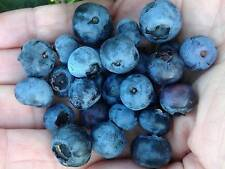 Blueberry Plant Choose From 5 Varieties Low Chill or Pink Edible Garden 4 Inch P