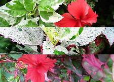 Hibiscus Plant Tropical Variegated Leaves Red Bloom 3 Type Aussie, Rose, Snow
