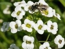 Alyssum Tall White Sweet (500=> 1/4 LB seeds) The Easy Grow Border Flower!  150