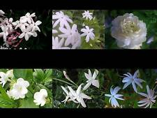Jasmine Plant Choose One (1) of 6 Types Fragrant White Flowers House Outdoor S4