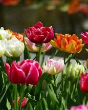 Tulip 'Double Early Mixture' Bulb size 12+ cm Shipping Sept. 2016