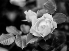 Picture to Frame variety of sizes #201505-0317 Rose Flower Art in Black & White