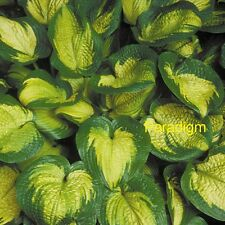 """hosta PARADIGM large colorful disease-free healthy 3"""" pot ☆1 Live Potted Plant☆"""