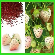 White Alpine Strawberry Fragaria Vesca Pineberry, Sweet Pinapple Flavour Seeds