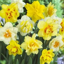 Narcissi Double Daffodil Mixture Bulb 14/16 cm Shipping Aug 2017