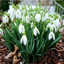 SINGLE SNOWDROP BULBS | GALANTHUS NIVALIS | FRESHLY LIFTED (IN THE GREEN)