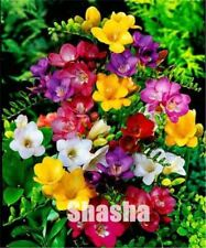 200 pcs Gorgeous Freesia Bonsai Plant Flowers seeds Plants for home Potted Garde