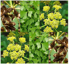 50 MOUNTAIN CELERY LOVAGE HERB SEEDS Levisticum officinale PERENNIAL Large Plant