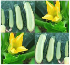 "30 ZUCCHINI GREY Squash seeds  ~ PERFECT FOR FRYING 5-8 "" open pollinated fruits"