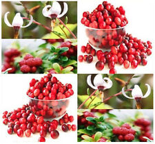 20 American Cranberry, Vaccinium macrocarpon, Seeds LOW GROWING FRUITS COVERS A+
