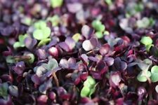 Todd's Seeds Sango Radish Seeds- Free Shipping - For Sprouting & Microgreens