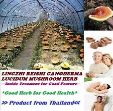 1 PACK  OF TANYAPORN LINGZHI REISHI GANODERMA LUCIDUM MUSHROOM HERB  FOR HEALTH
