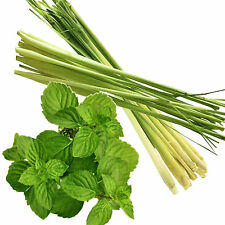 LEMONGRASS & WILD MINT Fragrance Oil Candle/Soap Making,Bath & Body