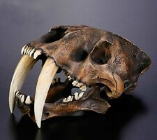 OGRM Resin Replica 1:1 Saber-toothed Tiger Skull Model Anatomy With Stand Statue