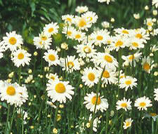 DAISY OX - EYE OXEYE  Chrysanthemum Leucanthemum Bulk Flower Seeds + Free Seeds
