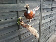Fine Taxidermy of Elliot's Pheasant Tragopan Mounted Bird Decor Interior Design