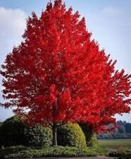 Red maple tree hardy perennial