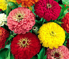 ZINNIA DAHLIA MIXED COLORS Zinnia Elegans Bulk Seeds