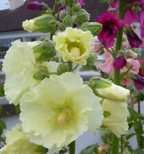 Hollyhock seeds -  various colours & mixed packs