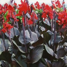 Bog Plant Live Water Canna Ailyns-Pond Pink, Red, Yellow water garden plants