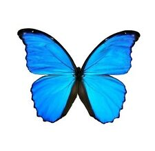 LOT OF 20 MORPHO DIDIUS A1/A- MALE. GOOD CONDITION. UNMOUNTED. ART WORK