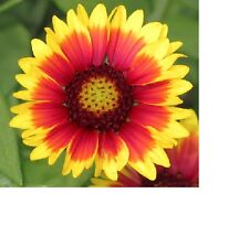 Blanket Flower, Annual Gaillardia Flower Seeds - Fresh & Hand Packaged