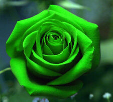 50 x Rare Multi-Colors Green Rose Flower Seeds Garden Plant, Other Colors