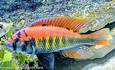 "Haplochromis sp. ""flameback 1.5 inch African Cichlid FREE OVERNIGHT SHIPPING"