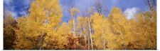 Poster Print Wall Art entitled Low angle view of aspen trees, Colorado