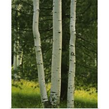 Poster Print Wall Art entitled Close-up of aspen trees, Apache-Sitgreaves