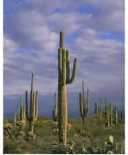 Poster Print Wall Art entitled Cactus on a landscape, Tonto National Forest,