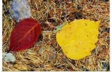 Poster Print Wall Art entitled Fallen autumn color leaves in pine needles,