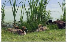 Poster Print Wall Art entitled Canada geese (Branta canadensis) and goslings at