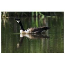 Poster Print Wall Art entitled Canada goose floating in pond, water reflection.