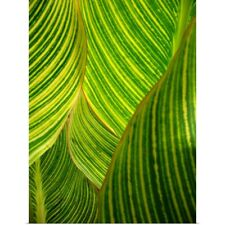 Poster Print Wall Art entitled Backlit striped dwarf canna lily leaves